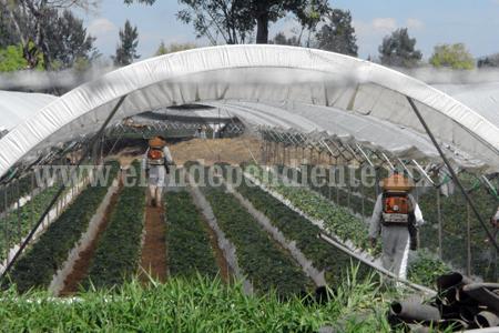 Empresarios consideran necesario abrir más campo para exportación de berries