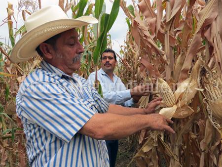 Productores de Jacona buscan incrementar los rendimientos del maíz