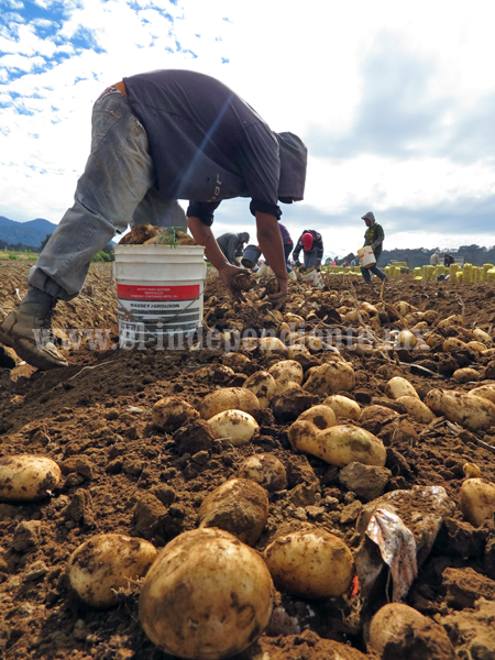 Mantienen mil 500 Ha. de papa cultivadas en zona de Guarachanillo