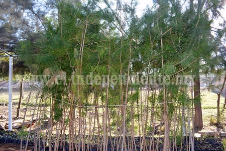 Con pinos Greggii se sustituirán los arbolitos del camino Al Rincón