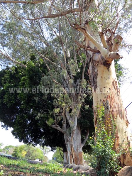 Establecerán plan de manejo para regular plantío de árboles