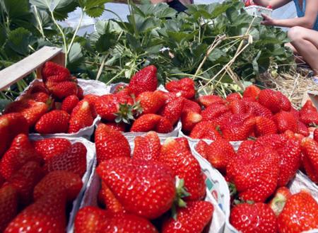Falta de variedades de fresa nacional hacen dependencia al mercado norteamericano