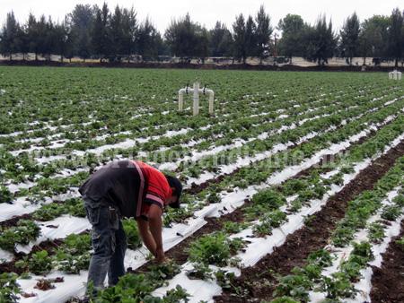 Plantíos de fresa indefensos ante las heladas por falta de tecnificación