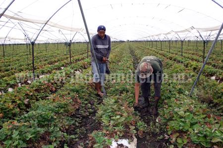 Podrían propiciar brote de plagas exceso de humedad y calores excesivos  ponen  en riego cultivos de fresa y hortalizas