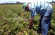 Producción de fresa reactivará la economía de la región en los próximos meses