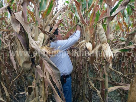Precios de maíz y sorgo van de mal en peor