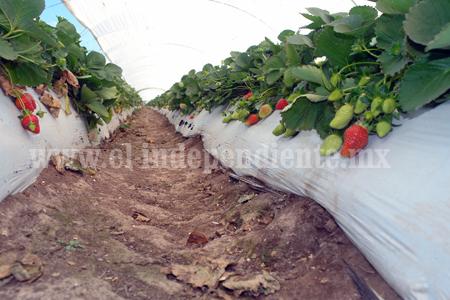 Despunta precio de producción en cultivo de fresa