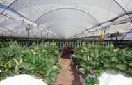 Aumentará exigencia a productores locales por la exportación de berries