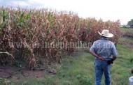 Aumentará 20 por ciento el cultivo de maíz para este ciclo