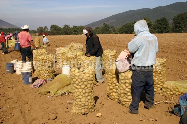 Productores de papa pugnan porque ya no entre semillas contaminadas de otros estados