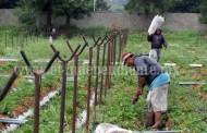 Sistema producto fresa en espera de autorización  para tecnificar 46 hectáreas de cultivo