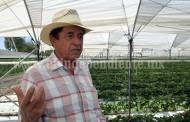 Reducen superficie de producción de fresa