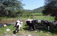Declaran brote de rabia paralítica bovina
