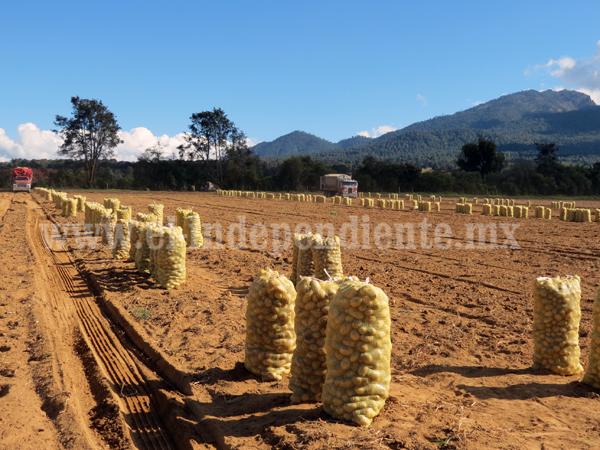 Comenzó siembra de papa con expectativa de incrementar la superficie de cultivo