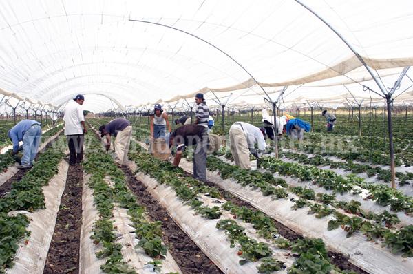 70 por ciento de la producción de  fresa  cuenta con macro túnel