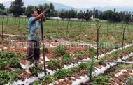 SAGARPA y SEDRU capacitarán a más de 300 agricultores del sistema producto fresa