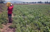 Reportan sin afectaciones cultivos de Jacona