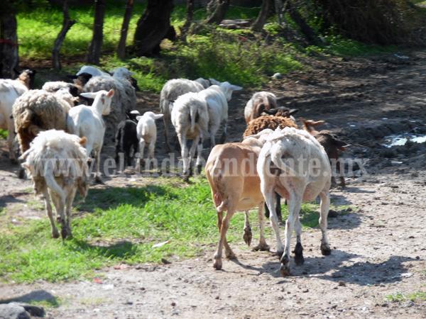 Piden criadores incremento en precio de carne de borrego