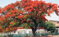 Reforestan 3 mil árboles en la zona urbana
