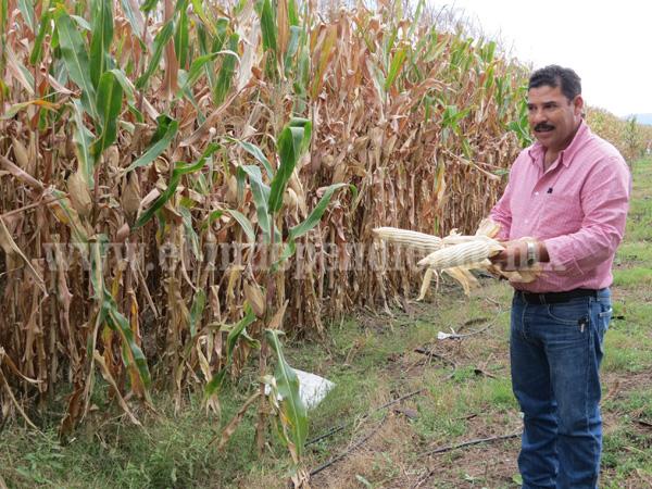 Productores de maíz lucharán contra mal precio y plagas del temporal