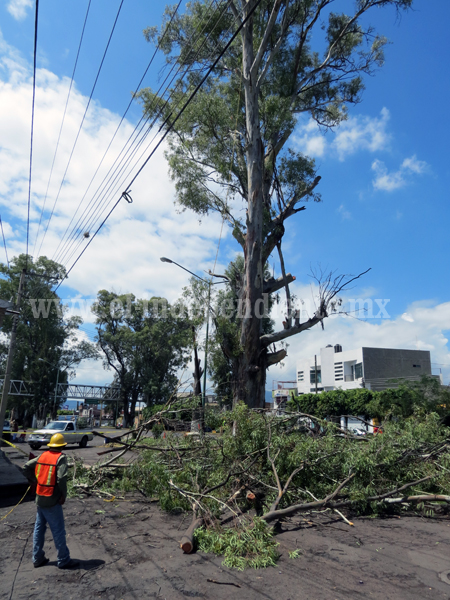 Lluvias han provocado recientes caídas de árboles viejos