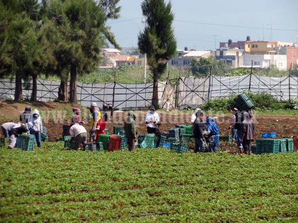 Agricultores de la región plantaron más de 5 mil hectáreas de fresa