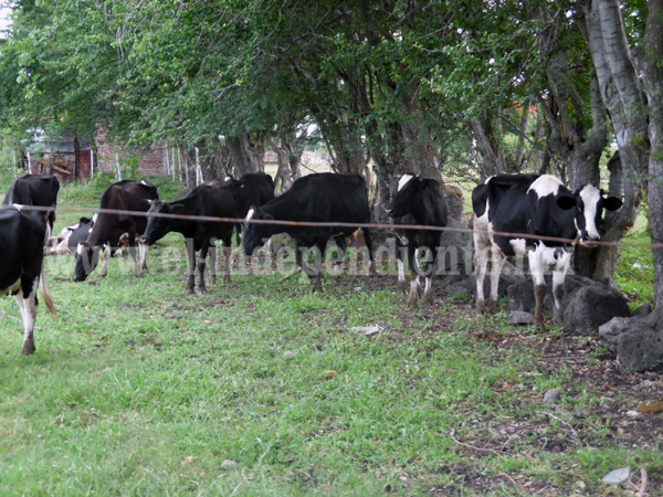 Se resisten ganaderos a sacrificar reses enfermas