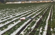 Ejecutan a un hombre en un cultivo de fresa en Zamora