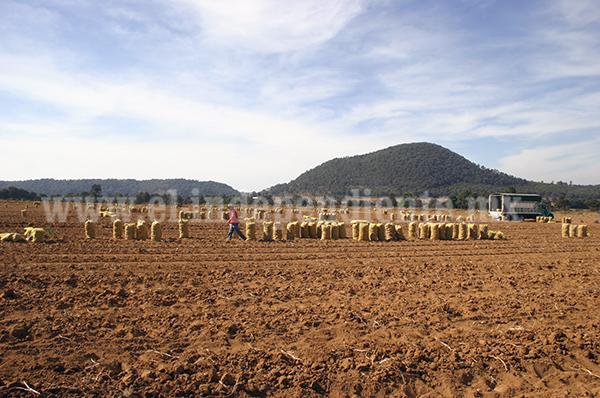 Cultivo de papa en zona serrana, en riesgo de contaminarse de paratrioza