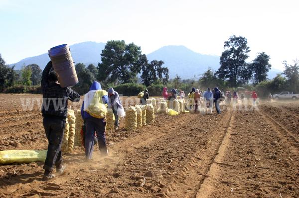 Producto procedente de Estados Unidos, amenaza principal para cultivo de papa en la región