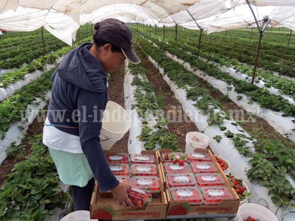 Consejo Nacional de la Fresa ayudará a productores con  proyectos de tecnificación