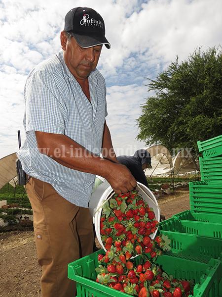 Baja producción de fresa en EUA benefició el precio local