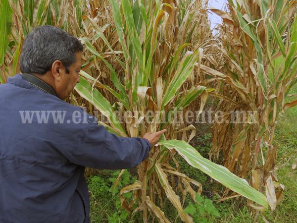 Recomiendan a agricultores cambiar de cultivar maíz blanco a amarillo