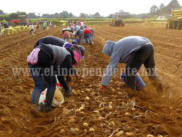 Escasez de lluvia propició disminución de producción de papa