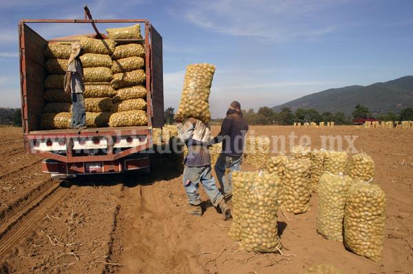 Mil 500  hectáreas de papa, meta de productores para este ciclo