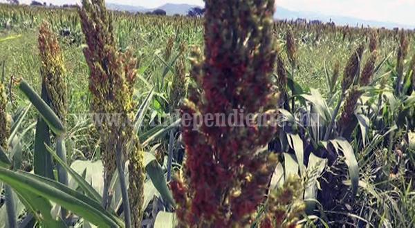 Desisten productores  de sembrar sorgo