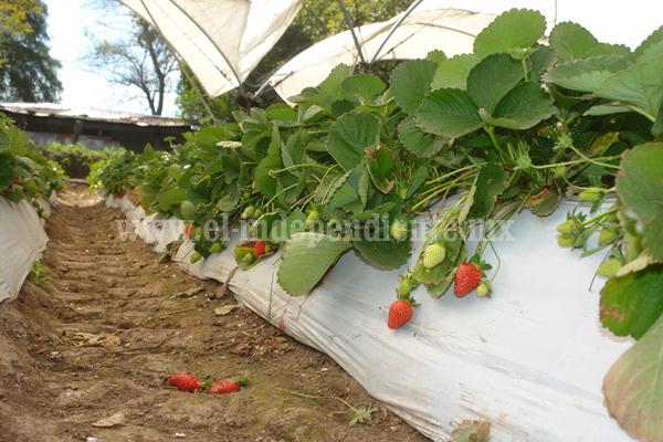 Garantizarán manutención de 15 mil hectáreas de berries