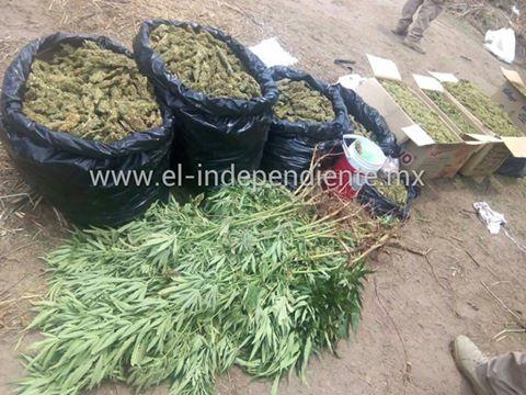En operativo conjunto PGJE, SSP y SEDENA aseguran tres personas en un plantío de mariguana