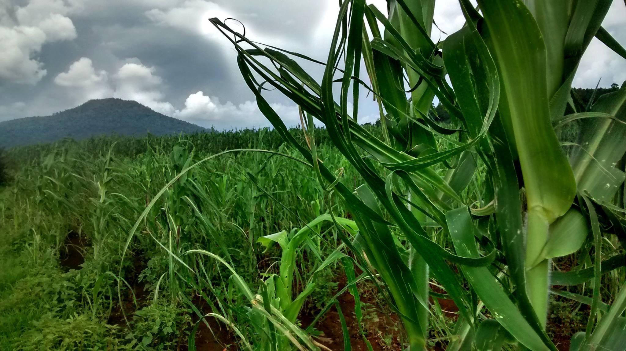 Granizadas causan daños a varios cultivos de maíz
