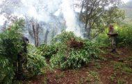 En operativo interinstitucional destruyen dos plantíos de marihuana en de Cotija