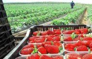 Productores de fresa Acusan a Tecnofruit y Agrana de fraude por más de 100 MDP