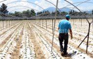 Alertan a agricultores sobre falsos certificadores de inocuidad