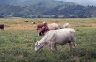 Abigeato, costo de leche e insumos llevan a crisis al sector ganadero