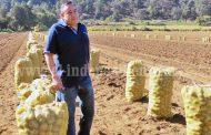 Preparan 600 hectáreas de cultivo de papa para próximo temporal
