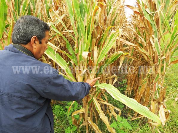 Ola de calor rezagará producción de grano en la región Zamora