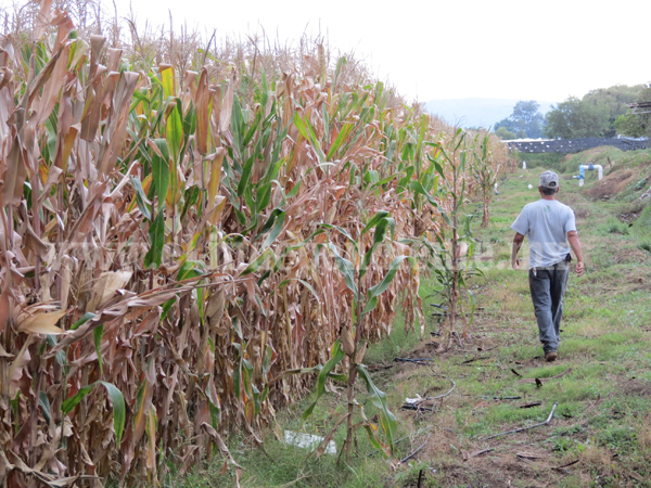 Gran parte del maíz cultivado sufrió afectaciones por gusano cogollero