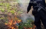 Destruye SSP plantío de marihuana en Chilchota
