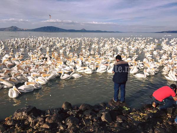 Más de 5 mil visitantes esperan en Petatán con arribo de Pelicanos Borregones