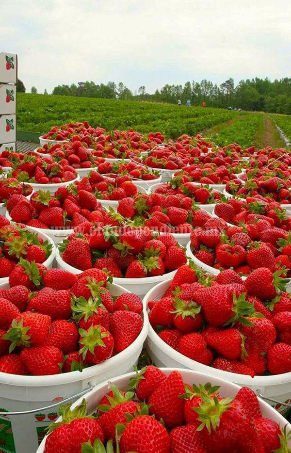 Buscarán obtener denominación de origen de cultivo de Berries