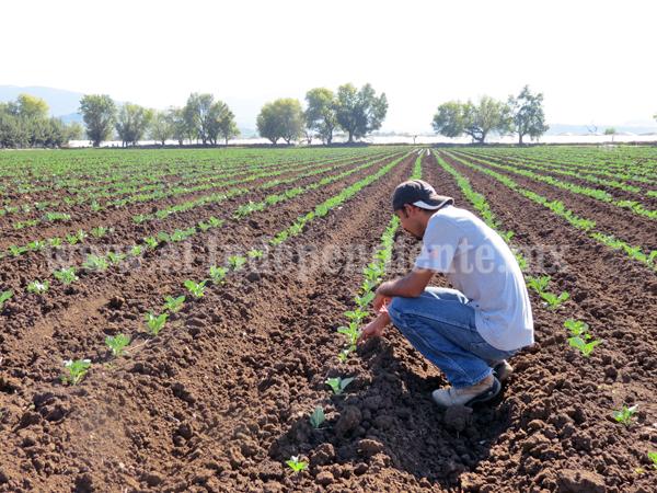 Incrementó superficie cultivable de fresa en la zona de Zamora